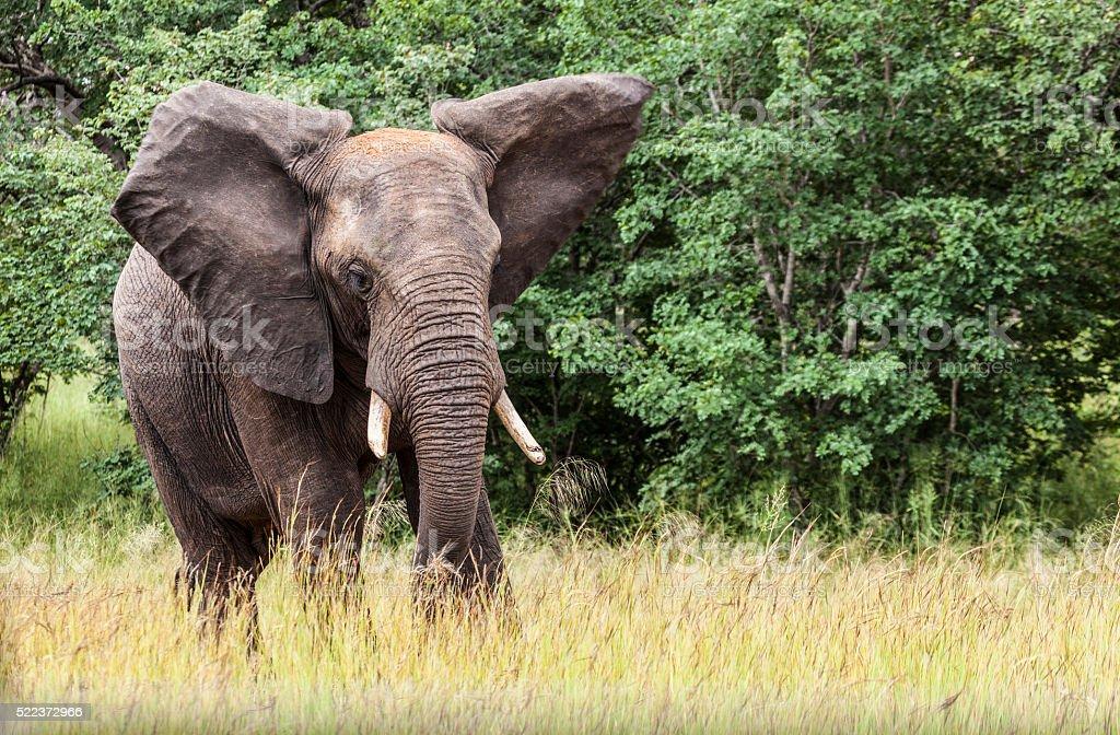 Bull African Elephant, Chobe N.P., Botswana, southern Africa stock photo