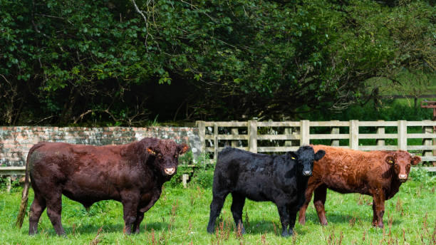 Bull and beef cattle in a field stock photo