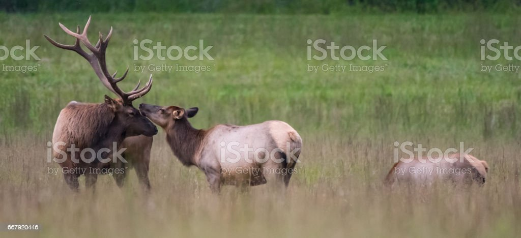 Bull and Cow Elk Nuzzle Panorama stock photo