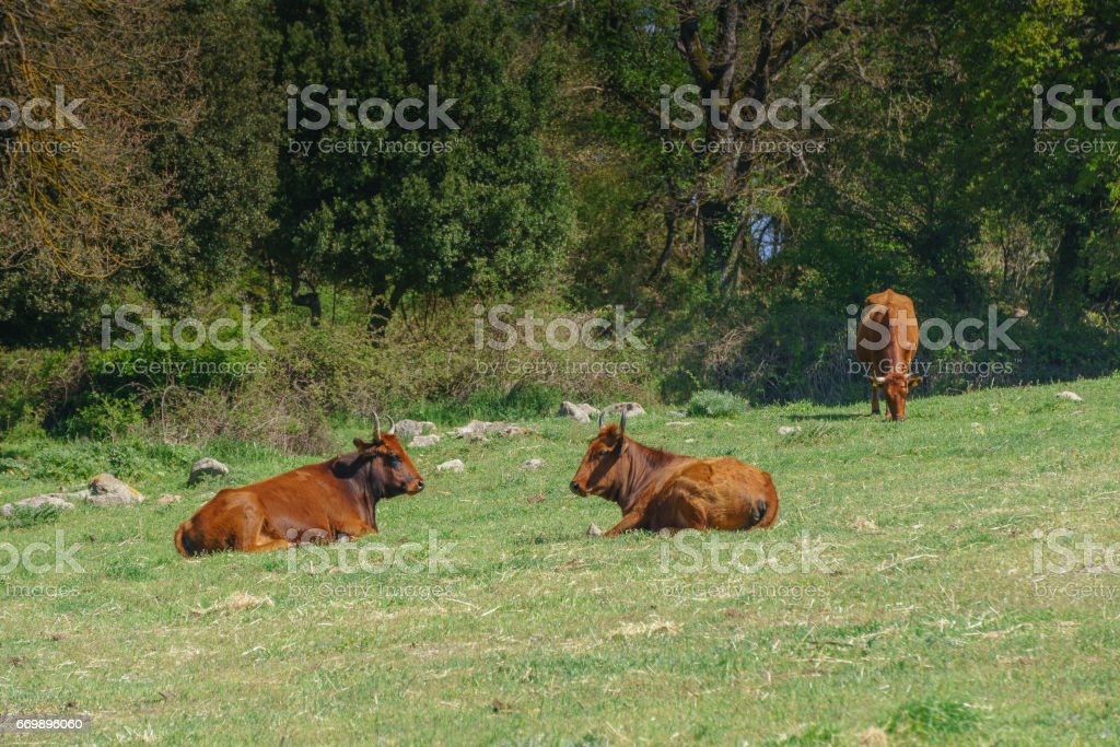Bull and Cow stock photo