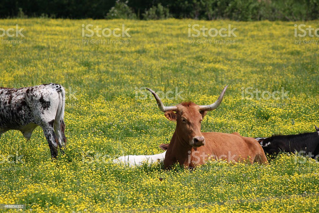 Bull and Cows on the Farm stock photo