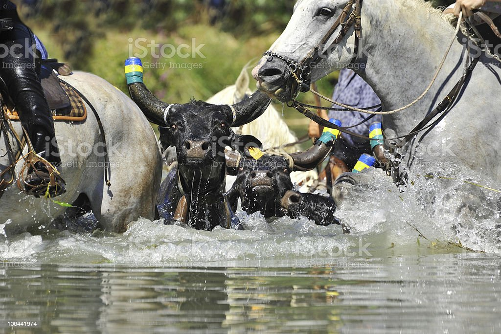 bull and horses in water stock photo