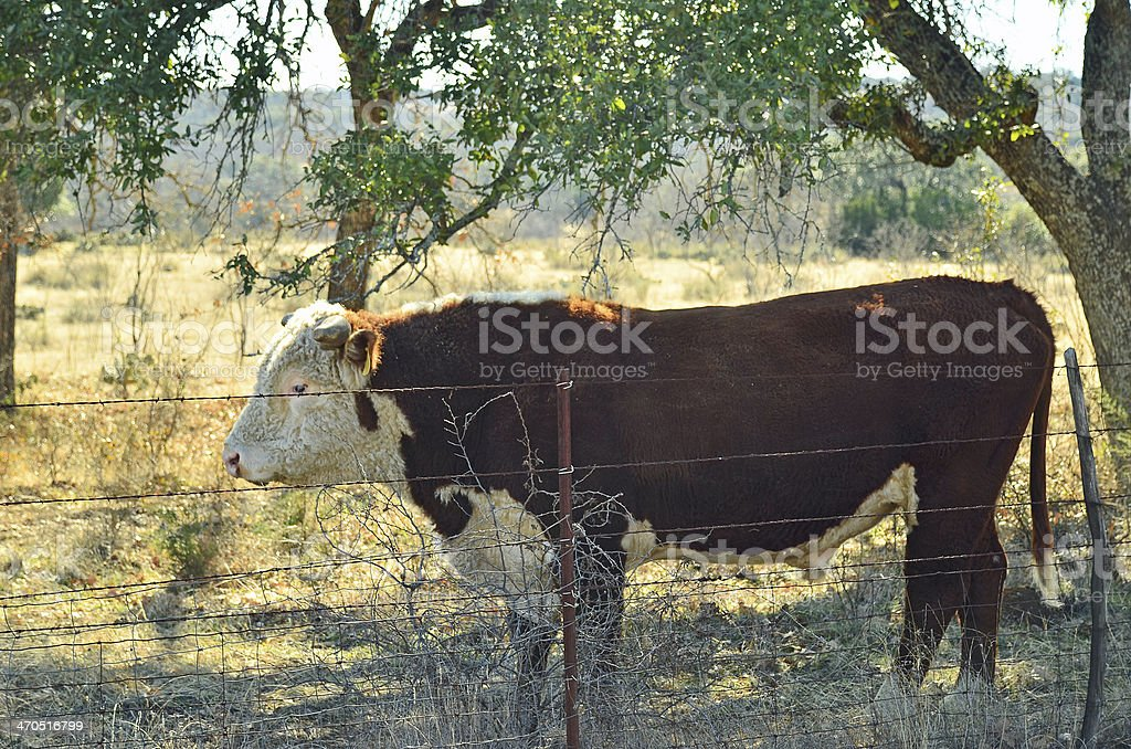 Bull Behind Barbed Wire royalty-free stock photo