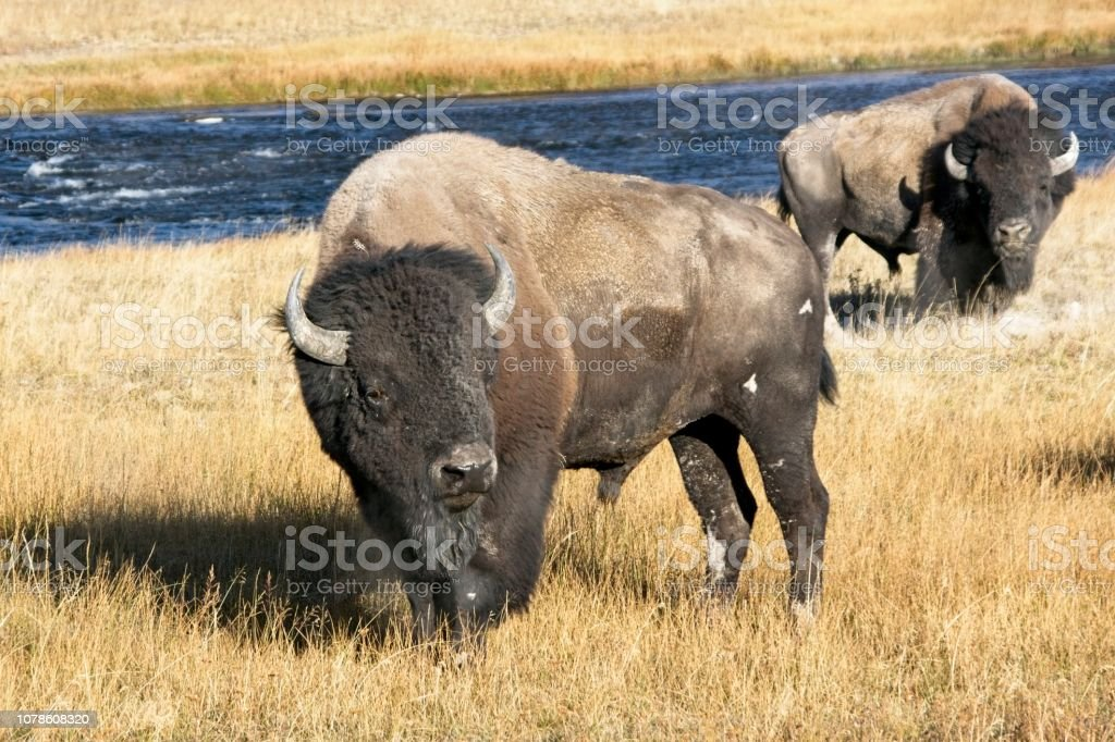 Bull Bison Beside the Firehole River stock photo
