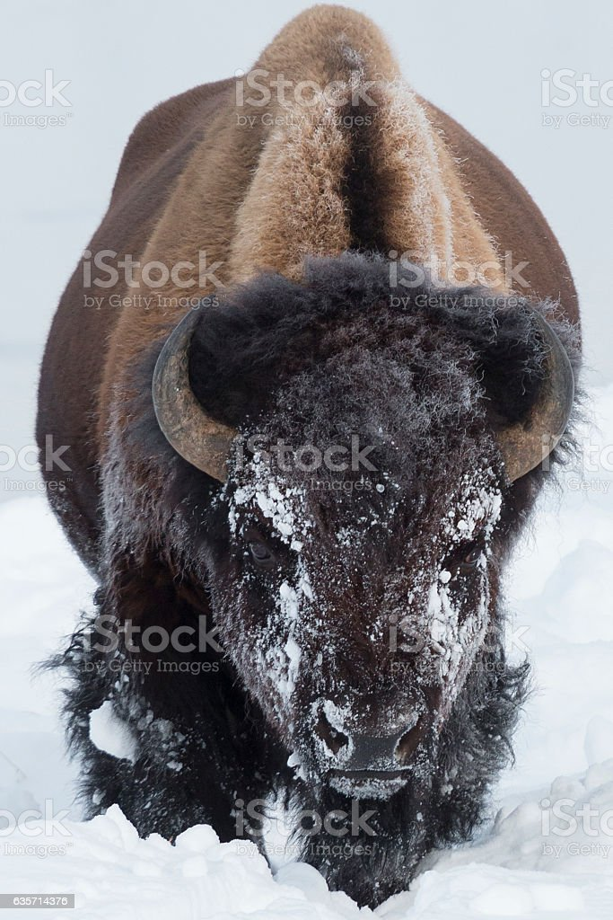 Bull bison feeding in the deep snow. royalty-free stock photo