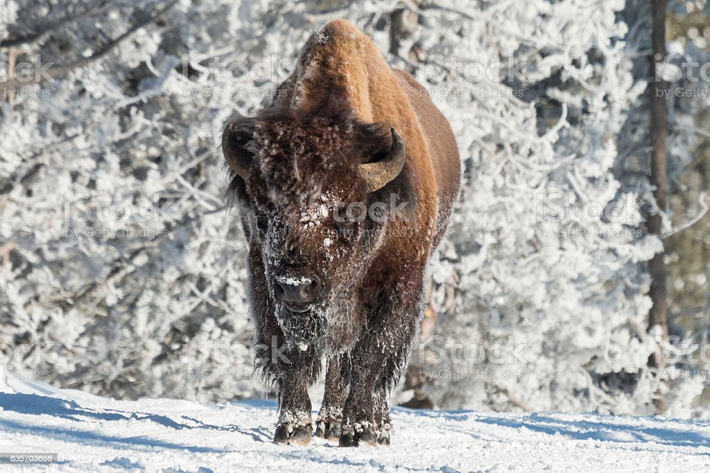 Bull bison warming up in the sun. royalty-free stock photo