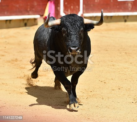 spanish bull  black in bullring