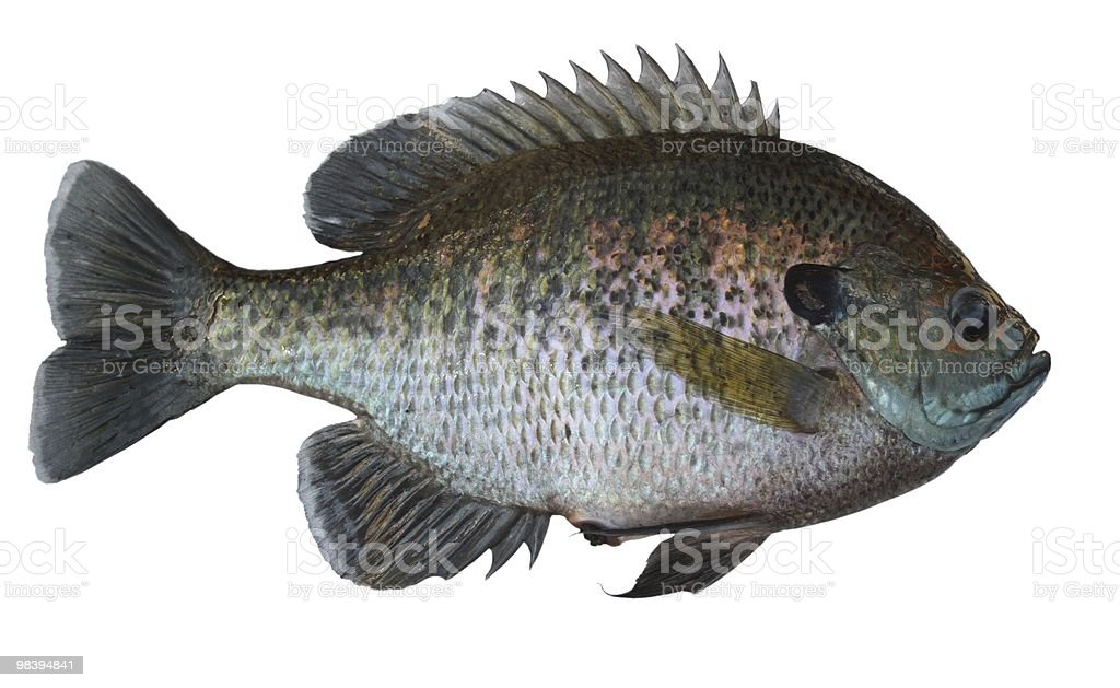Bull Bluegill royalty-free stock photo