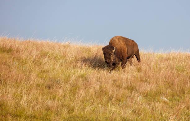 bull buffalo på great plains - single pampas grass bildbanksfoton och bilder