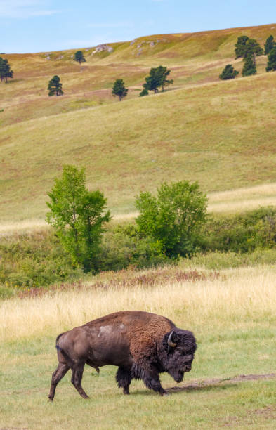bull buffalo on the great plains - great plains stock photos and pictures