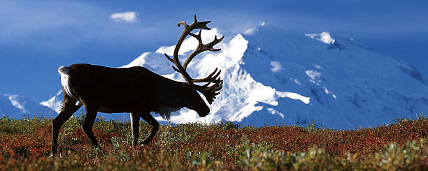 bull caribou walking in front of mt mckinley - denali national park bildbanksfoton och bilder