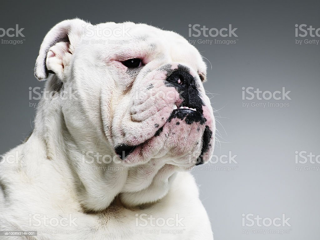 Bull dog, close-up photo libre de droits