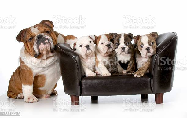 Bull dog puppies on small leather chair next two picture id463513043?b=1&k=6&m=463513043&s=612x612&h=ew4 l 3alyhfduf cspe1ejanjeth3vyburrdanr65g=