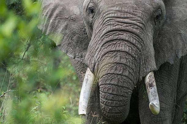 Bull Elephant in western Kenya stock photo
