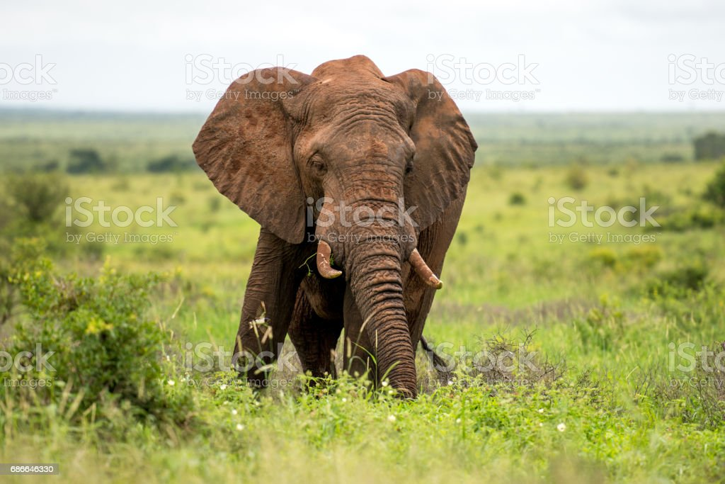 Bull Elephant royalty-free stock photo