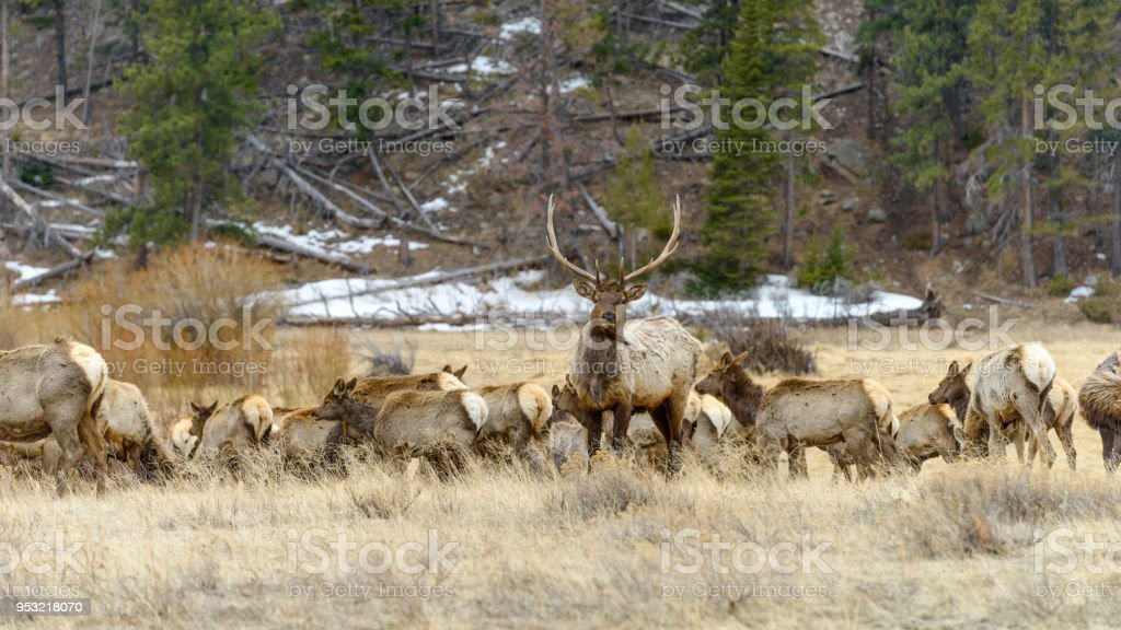Bull Elk - A strong bull elk standing alerted in front of its herd. Early Spring in Rocky Mountain National Park, Colorado, USA. stock photo