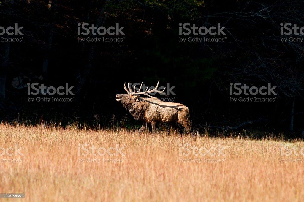 Bull Elk against a black sky stock photo