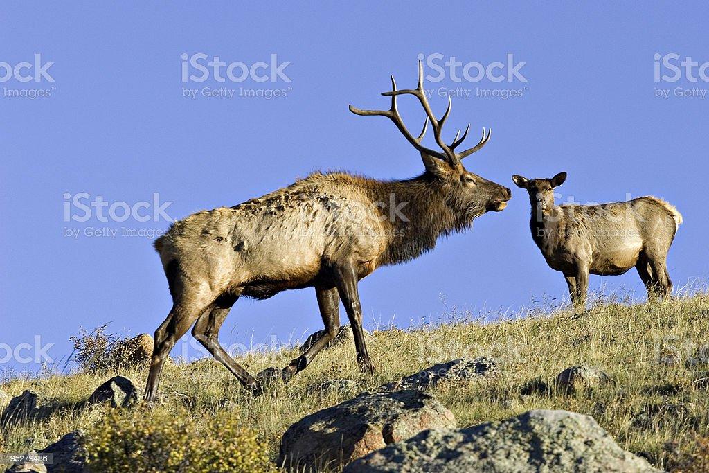 Bull Elk And Doe - Rocky Mountain National Park Colorado stock photo