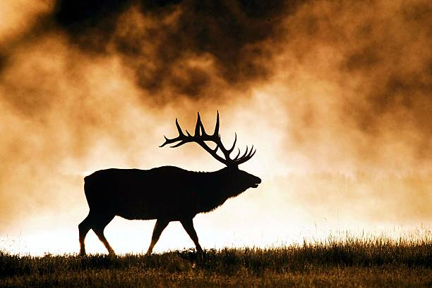 Bull elk at sunrise stock photo