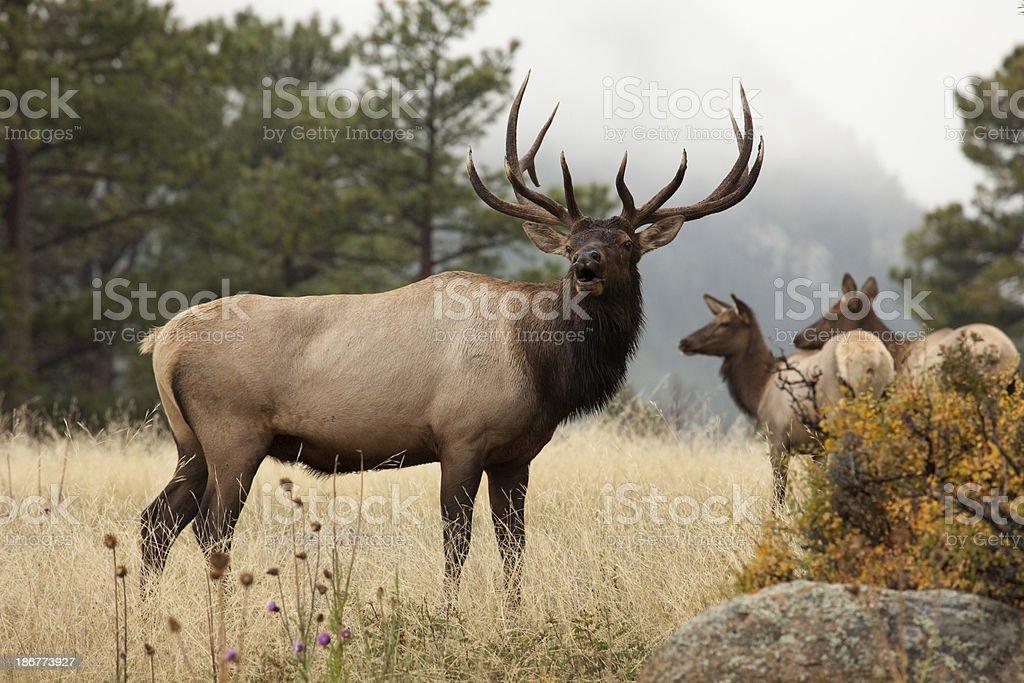 Bull elk bugling in herd Colorado royalty-free stock photo