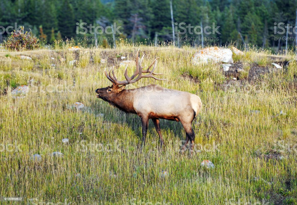Bull elk bugling in Jasper National Park,Alberta,Canada stock photo