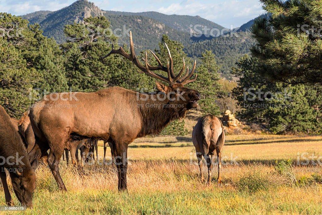 Bull Elk Bugling stock photo