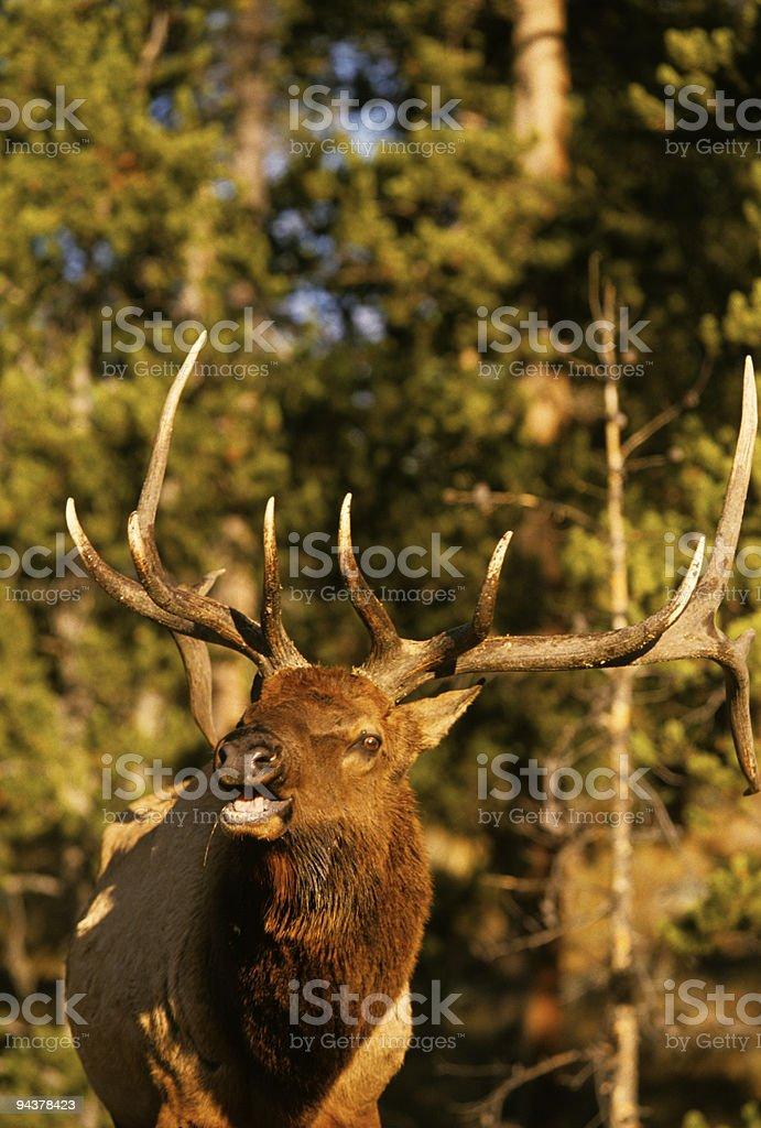Bull Elk Bugling royalty-free stock photo