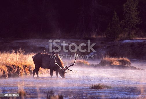 A large bull elk stops for a drink while crossing a river in Wyoming.