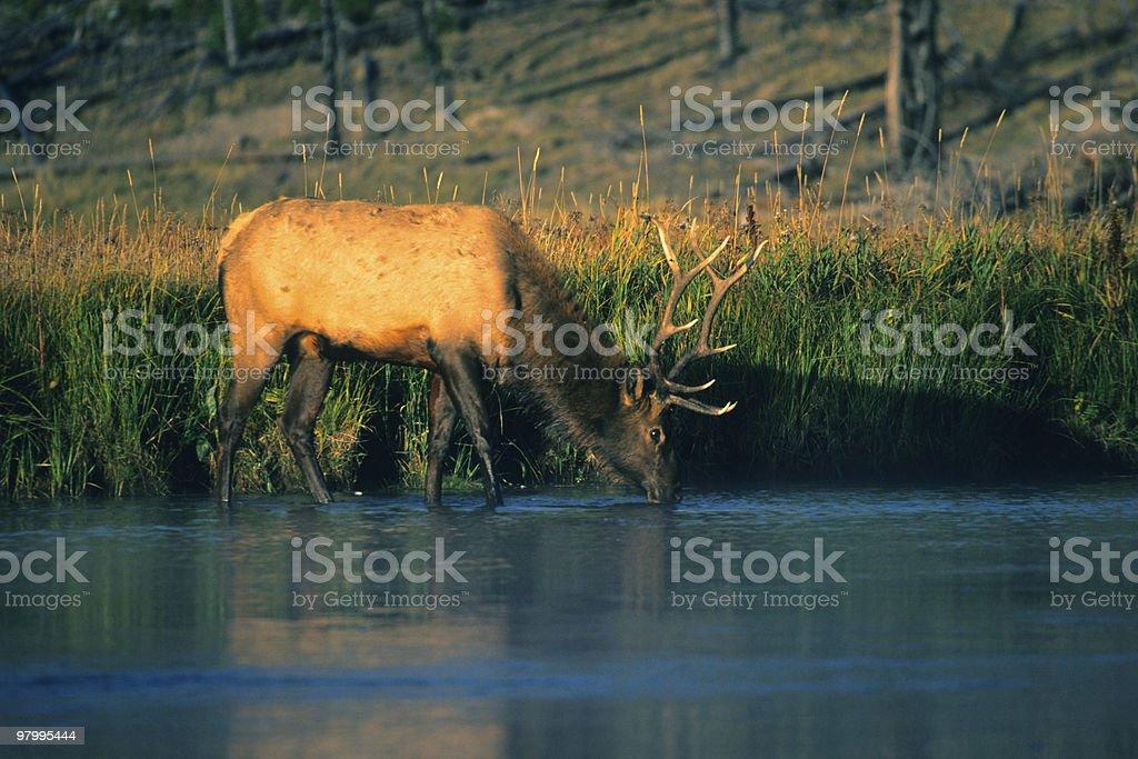 Bull Elk Drinking royalty-free stock photo