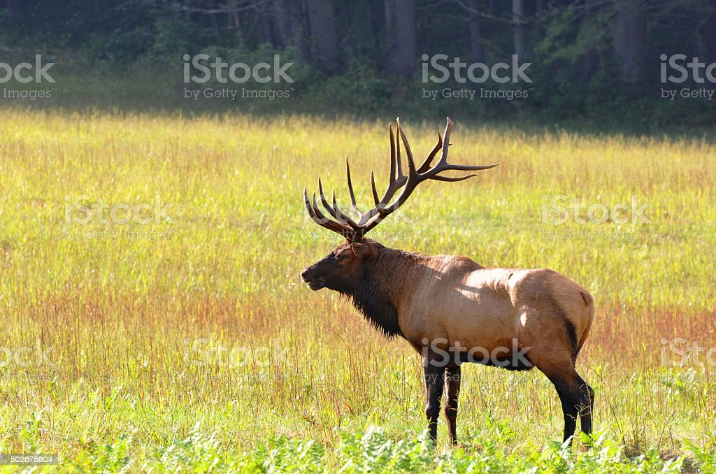 Bull elk during autumn at Cataloochee Valley in North Carolina stock photo