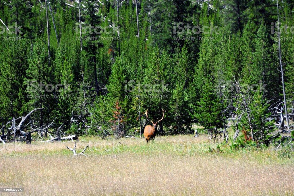 Bull Elanden grazen - Royalty-free Beschermd natuurgebied Stockfoto
