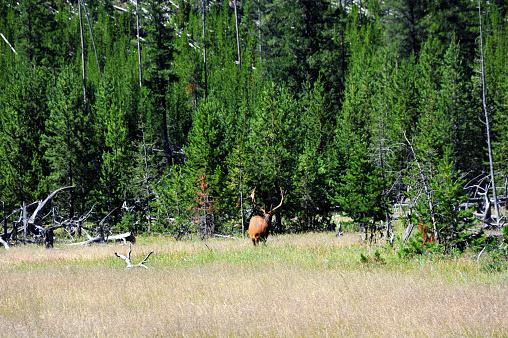 Bull Elanden Grazen Stockfoto en meer beelden van Beschermd natuurgebied