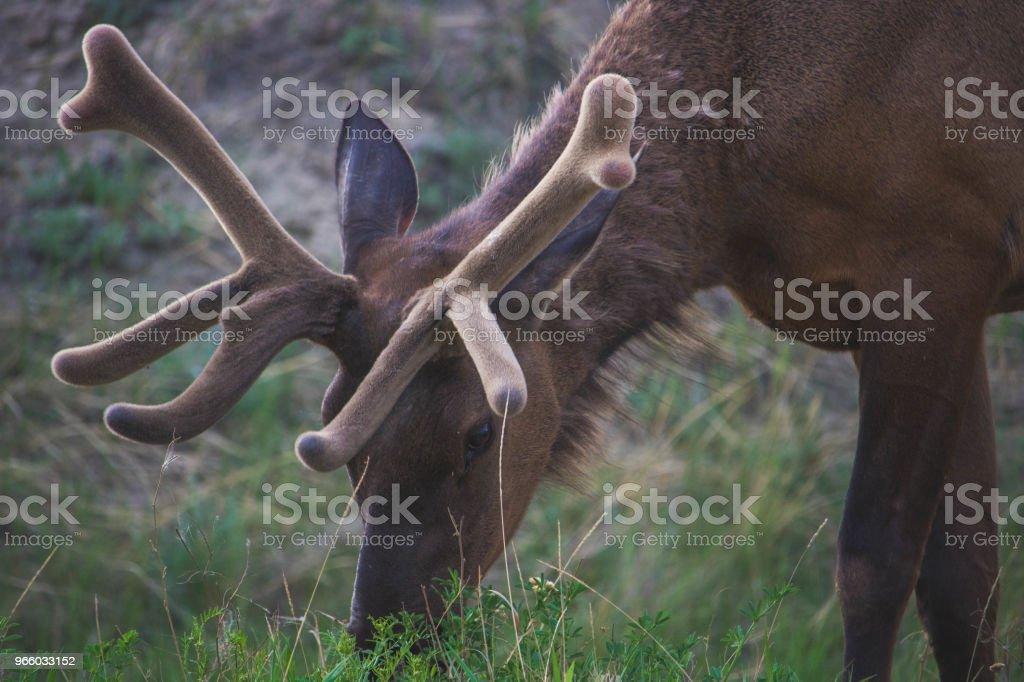 Bull River Elk Grasen - Lizenzfrei Einzelnes Tier Stock-Foto