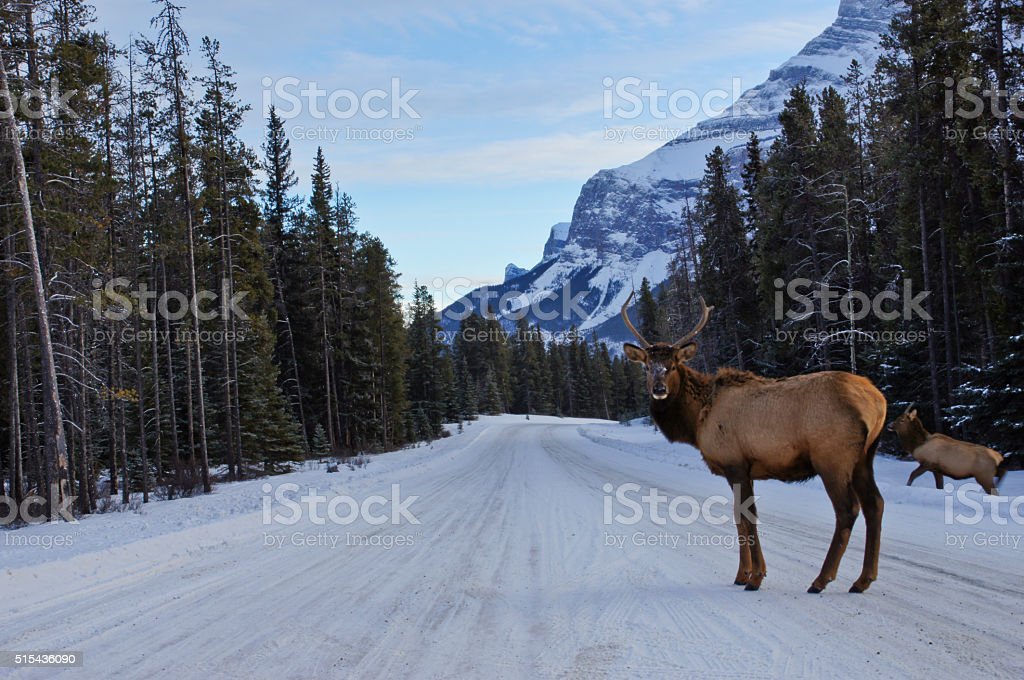 Bull Elk in Banff in the Canadian Rockies stock photo