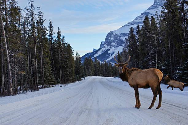 Bull Elk in Banff in the Canadian Rockies stock photo