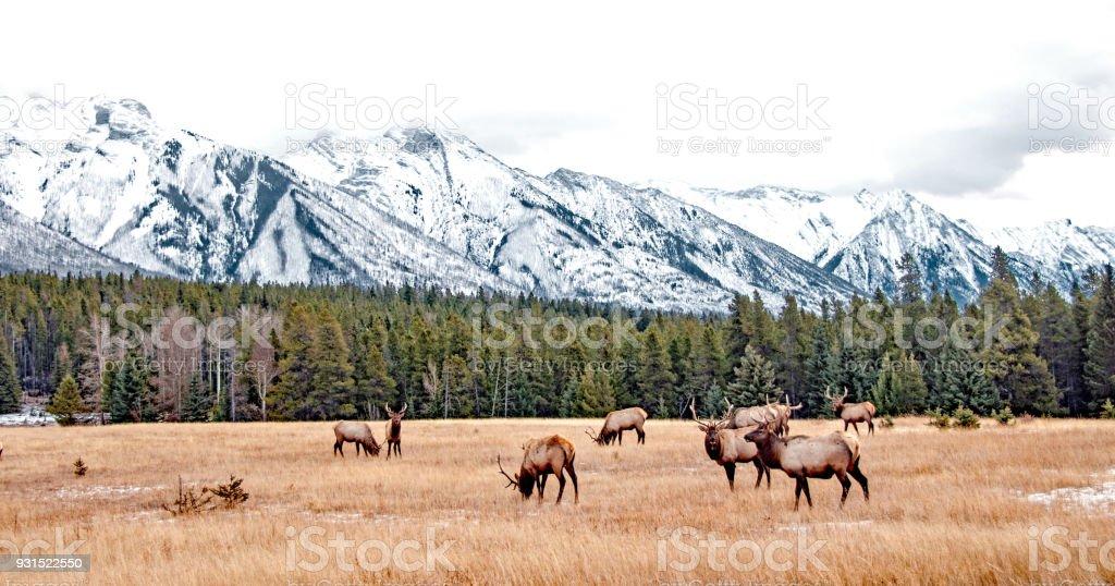 Bull Elk in Banff National Park in November stock photo