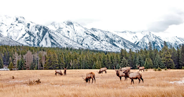 Bull Elk in Banff National Park in November stock photo