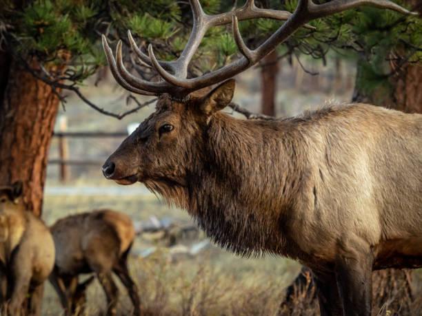 bull elk in estes park - estes park foto e immagini stock