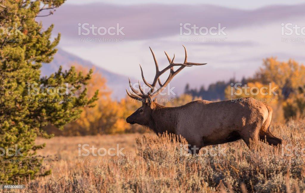Bull Elk in Fall foto stock royalty-free