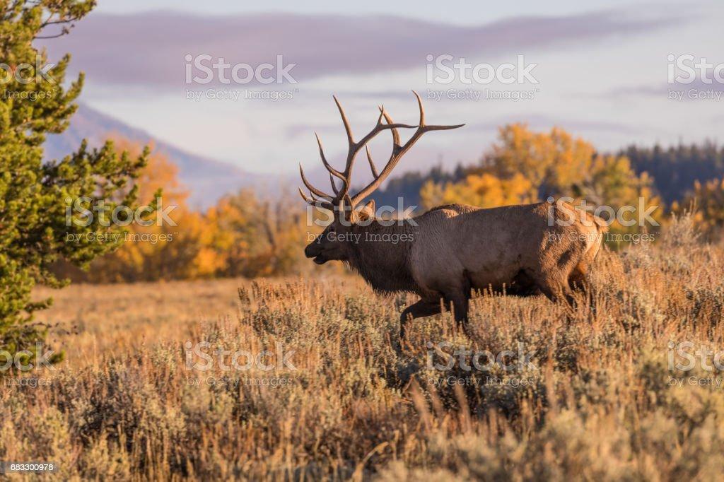 Bull Elk in Fall royalty free stockfoto