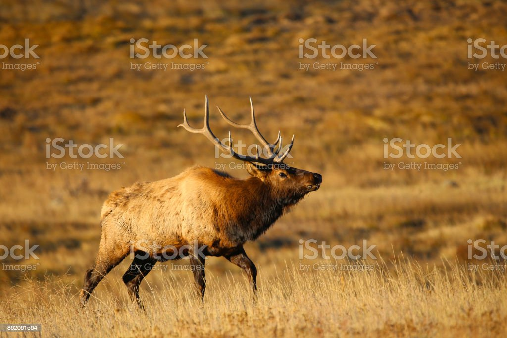 Bull Elk in portrait in autumn in Rocky Mountain National Park, Colorado stock photo