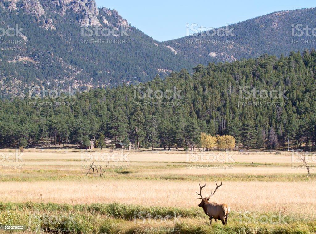 Bull elk in rut stock photo