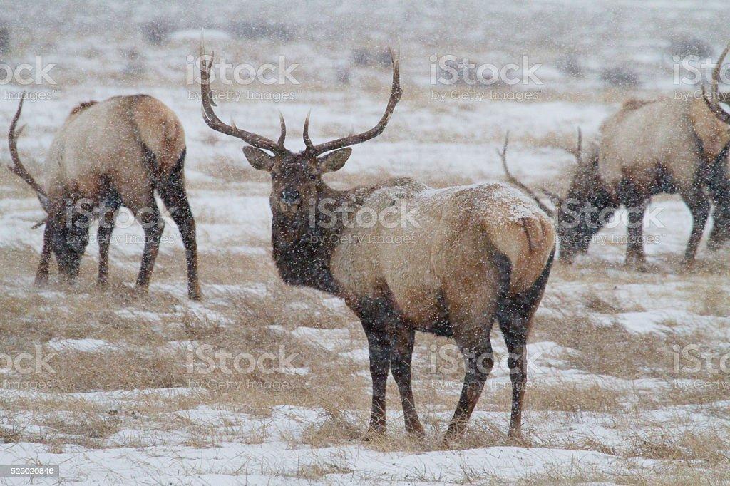 Bull Elk in Snowstorm stock photo