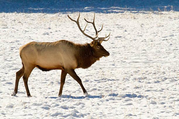 Bull Elk in Winter II stock photo
