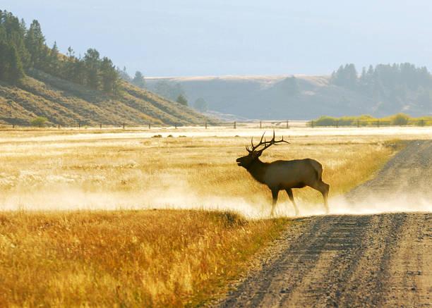 Bull Elk on the Run stock photo