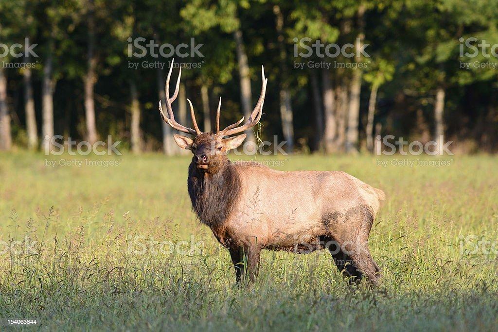Bull elk - foto de stock
