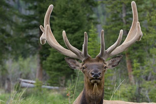 bull elk - estes park foto e immagini stock