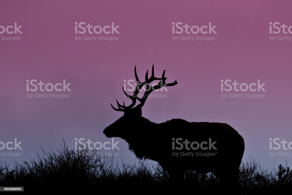 Bull Elk Silhouetted on a Hill stock photo