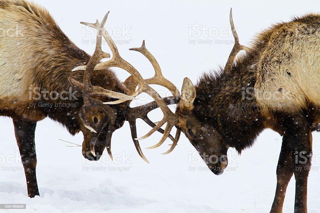 Bull Elk Sparring stock photo