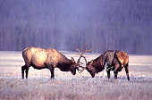 A pair of bull elk spar with each other in a frosty meadow in Wyoming.